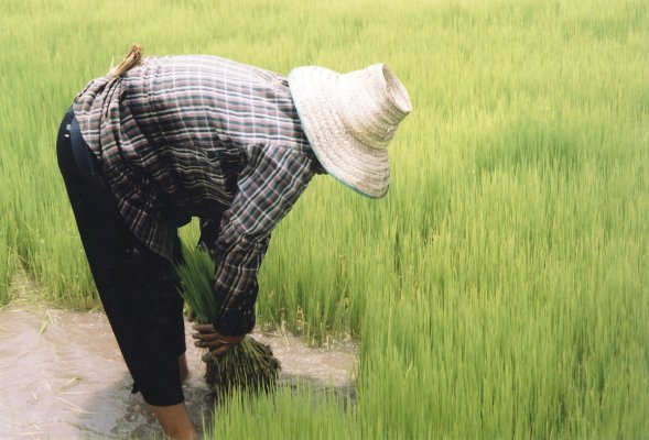 Picture of a man working a rice field